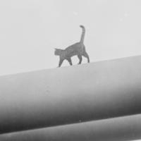 cat-gun