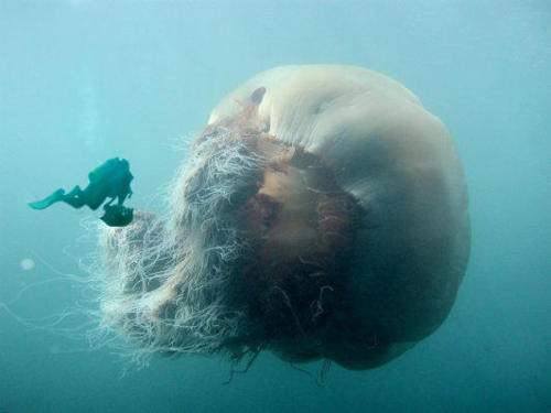 giant-jellyfish