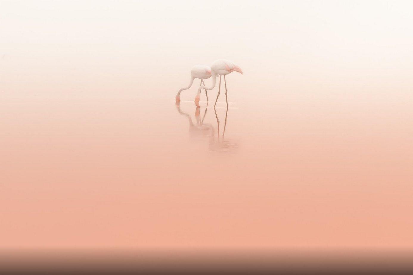 duet-pelicans